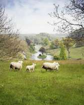 sheep at Penrice